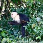Everyone wants a cute little capuchin for their own, right?