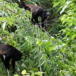 Some howler monkeys getting a tad bit frustrated with us just before we went ziplining through their treetops.