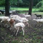 Taylor_Sheep_2