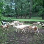 Taylor_Sheep_3