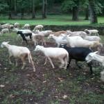 Taylor_Sheep_4