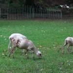 Taylor_Sheep_5