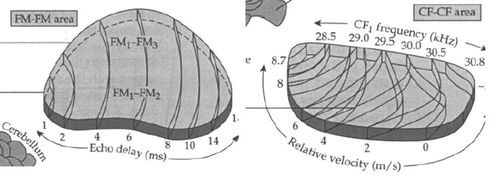 Left: FM-FM area from the mustached bat Pteronotus. Right: CF-CF area.