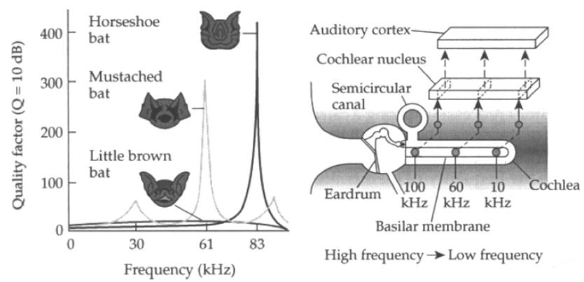 Left: Bats are sensitive to different frequencies. More hair cells at certain spots along the basilar membrane increase sensitivity. Right: The bat inner ear and auditory pathway.