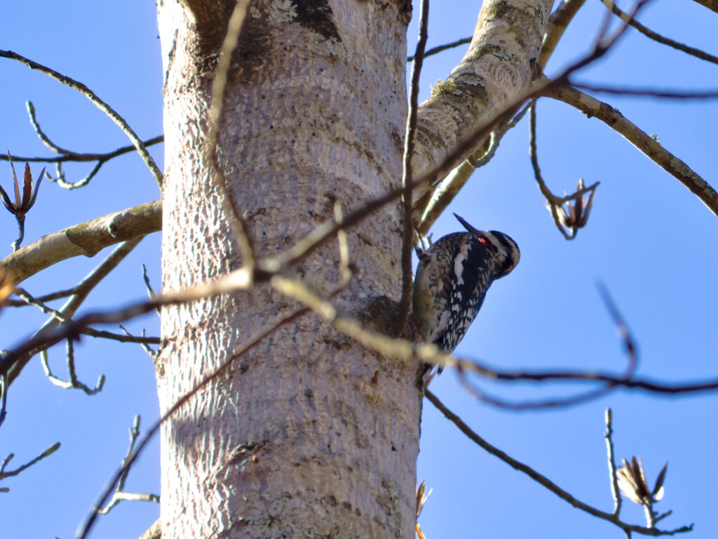 A yellow-bellied sapsucker.