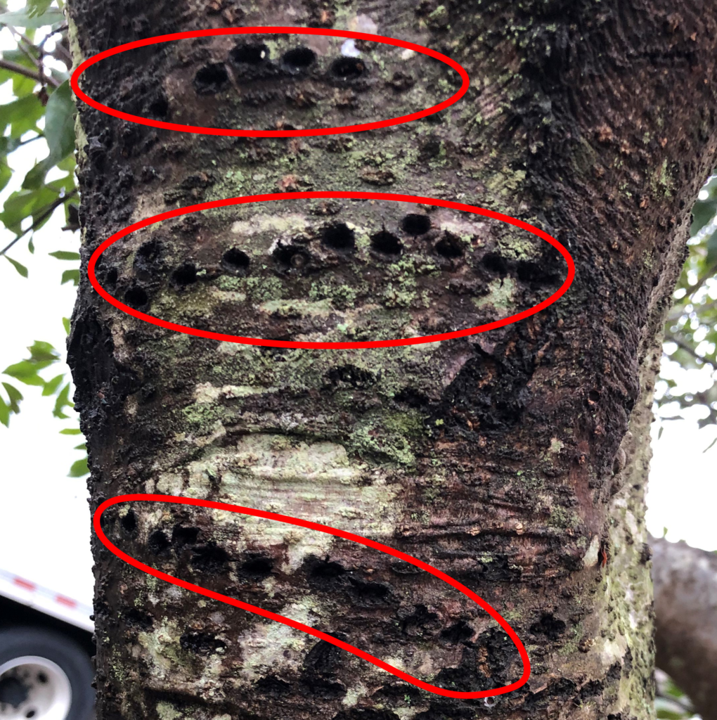 A tree with lines of sapsucker holes.