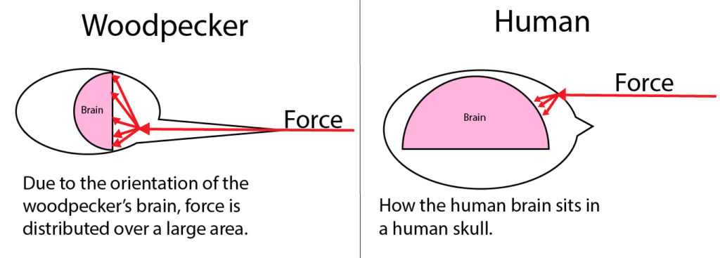 A visualization of how the force is more distributed over the woodpecker's brain compared to a human brain.