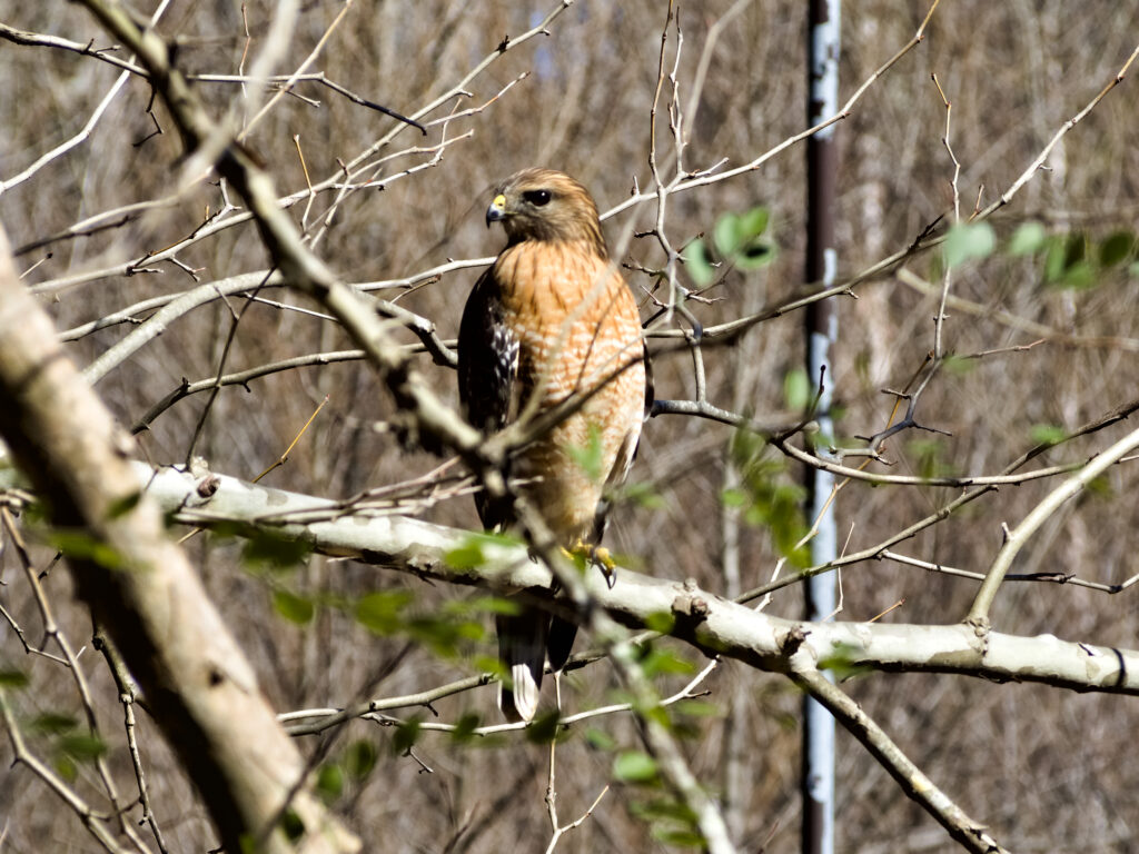 A red-shouldered hawk, a mid-sized hawk with red-orange feathers on its shoulders and chest.
