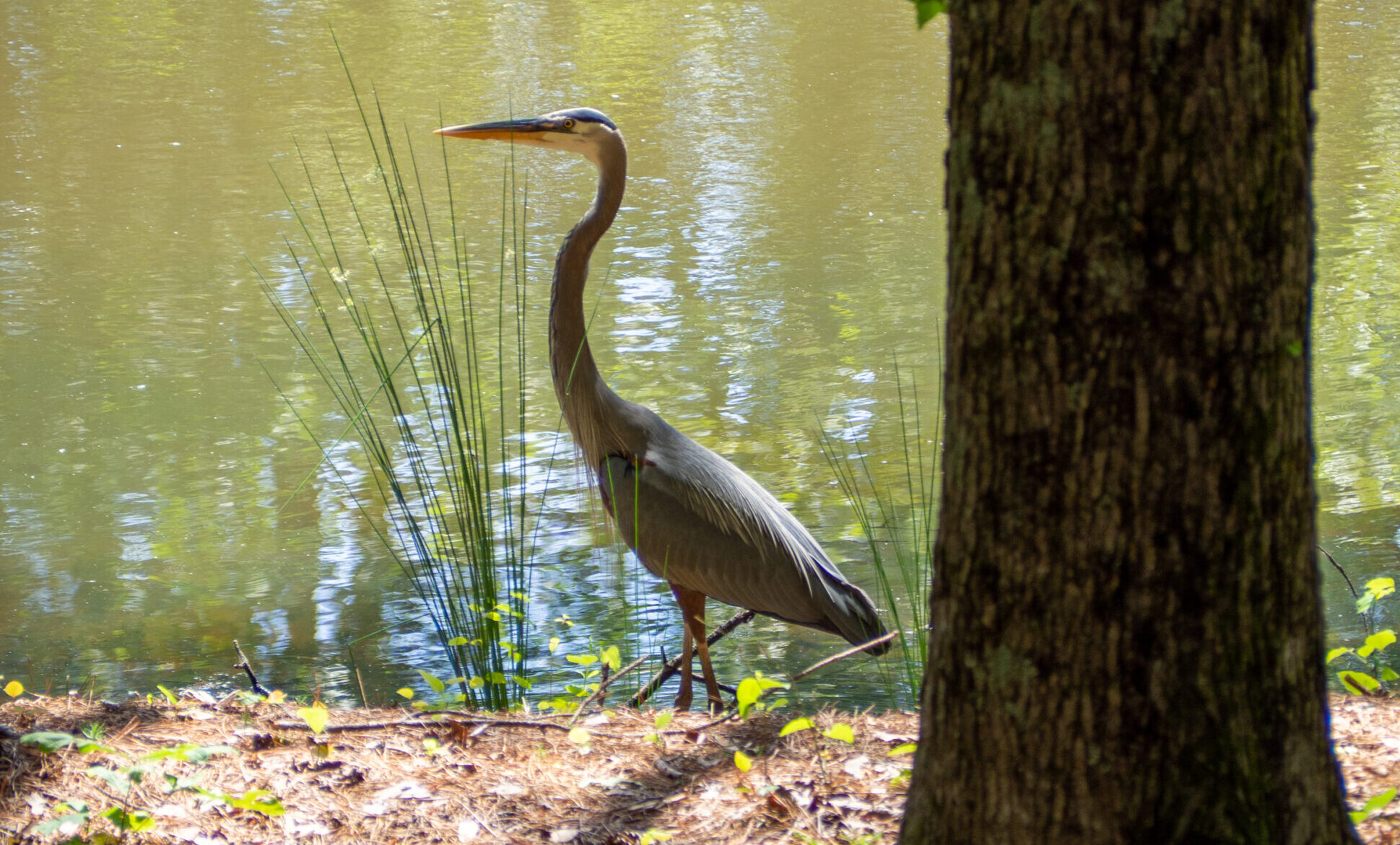 Where do Great Blue Herons catch their snacks?