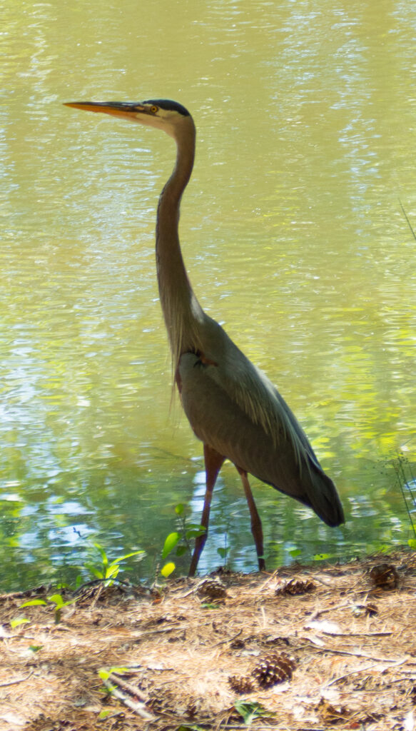 A picture of a great blue heron. The heron is standing on the edge of a pond.